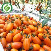 產銷履歷美濃橙蜜香小蕃茄5台斤免運組