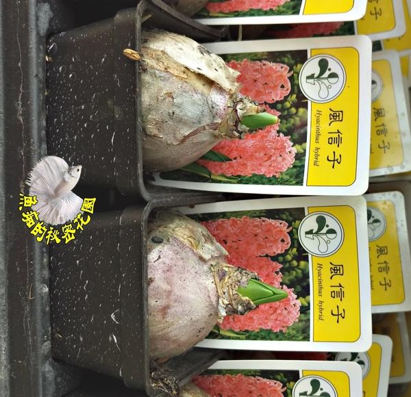 [超香 橘色風信子盆栽] 2.5寸盆 室內濃香花卉 多年生球根類觀賞花卉盆栽