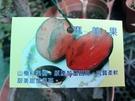 花花世界_水果苗--媽咪果(實生苗),鮮甜多汁--柔軟香甜/7吋/約高70-80cm/Tm
