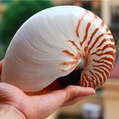 魚缸擺件天然大海螺貝殼鸚嘴螺四大名螺之一【極簡生活館】