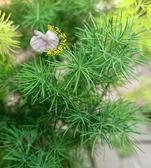 [壽松 大陸網上說的蓬萊松,很多網路放的照片都是錯誤的!] 6寸盆 多年生觀賞松柏盆栽 半日照佳