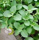 [傳統大葉左手香 倒手香 一抹香盆栽] 5吋盆 活體香草植物盆栽 室外半日照佳
