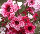綠籬植物 **松紅梅 ** 5吋盆/高20-30公分/嬌小玲瓏可愛【花花世界玫瑰園】R