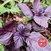 CARMO雙色可食用紫蘇種子 園藝種子(50顆) 【FR0049】