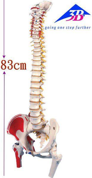 A58/3德國3B頂級成人脊椎骨模型(實用的人體模型/人骨模型/骨骼模型/骨架模型/教學模型/脊椎模型)