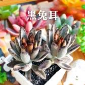 〔新手入門〕CARMO黑兔耳多肉植物成株(3吋) 夏日【Z0032】