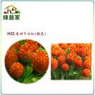 【綠藝家】H32.美洲千日紅(橙色,高5...