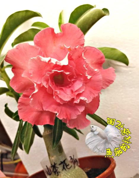 新品種 [山茶花複瓣粉紅色沙漠玫瑰] 5寸盆 多年生觀賞花卉盆栽  室外半日照佳