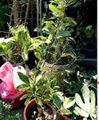 花花世界_水果苗--斑葉花柑--有如迷你版小玉西瓜/6/7吋盆/高40-50cm/Ts