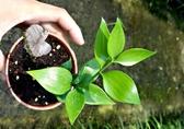 活體 [圓葉竹柏 日本竹柏 日本茉草 ] 室內植物 3吋盆栽 送禮小品盆栽