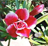[舞伶] 5吋盆 新品種 重瓣沙漠玫瑰盆栽 活體花卉盆栽 半日照 幾乎全年開花 送禮盆栽