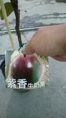 花花世界_季節水果--紫香牛奶果--**新品種**/4吋盆/高30-50公分/TC