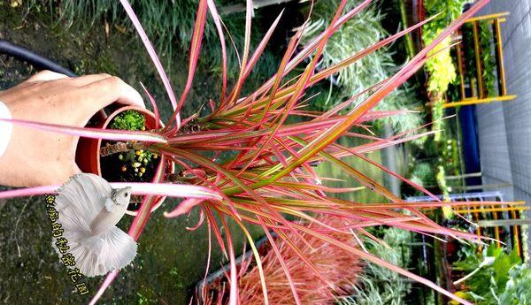 [五彩千年木、金絲竹、紅鑲邊龍血樹、彩紋竹] 室外植物 3吋活體盆栽 送禮小品盆栽