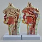人體鼻腔口腔咽喉解剖 口鼻喉病理模型 耳鼻喉科 矢狀 教學