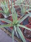 花花世界_空氣鳳梨--旋風木柄鳳--**懶人適合的植物**/3吋盆/高30~40CM/TC