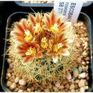 CARMO仙人掌Escobaria roseanaSB277種子(10顆裝)【B64】