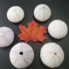 地中海,天然海膽殼,巨型海膽,尺寸5-7...