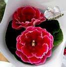 [紅色大岩桐] 室內植物 3吋活體花卉盆...