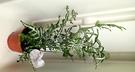 活體  銀脈鳳尾蕨 蕨類盆栽 室內植物3...