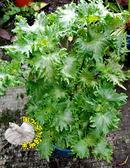 [大盆 青紫蘇]  5吋盆 多年生 活體香草植物 藥用香草  可以食用 送禮小品盆栽 室外半日照佳