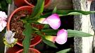 [粉紅色海芋花] 活體植物 5-6吋觀賞花卉盆栽 送禮首選小盆栽