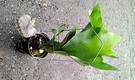 活體 [鹿角蕨] 室內植物 5吋盆栽 送...