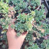 CARMO蔓蓮3吋多肉植物成株【Z0034】