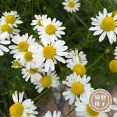 CARMO白晶菊種子 園藝種子(200顆) 【FR0017】