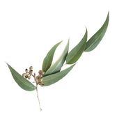 Visakha - 中國尤加利 Eucalyptus  單方精油 (10ml)