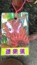 花花世界_水果苗--**蘋果蕉**-- 紅皮蕉比香蕉還甜/6吋盆/高30-50cm/TS