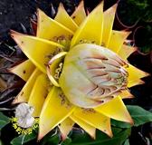 [大 地湧金蓮花盆栽] 7-8寸盆 室外花卉 多年生觀賞花卉盆栽
