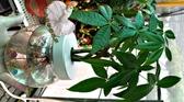 大玻璃瓶水耕植物盆栽 [彎曲造型馬拉巴栗 美國花生 發財樹] 室內室外皆可