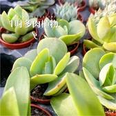CARMO桃之嬌多肉植物成株(1吋) 新手【Z0239】