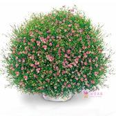 花卉種子 滿天星種子 春播四季家庭室內陽台盆栽秋季播易種 花卉 花籽 8色