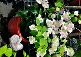 [粉白色 九重葛盆栽] 6-8吋盆 活體室外植物 開花植物盆栽