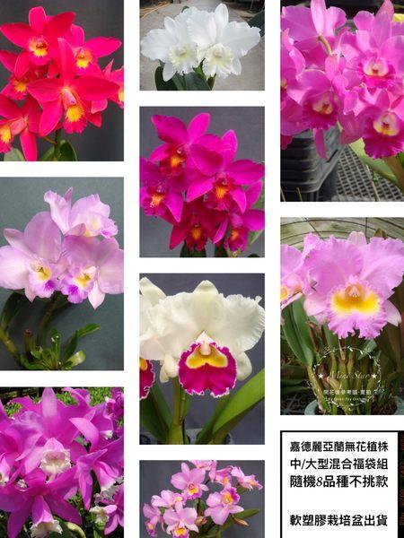 ★Mini Star★ 千姿蘭園Chian-Tzy Orchids 中大型 嘉德麗雅蘭 Cattleya 福袋8入組  隨機出貨不挑品種