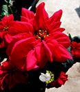 [玫瑰聖誕紅 聖誕玫瑰] 5吋盆 室內植...