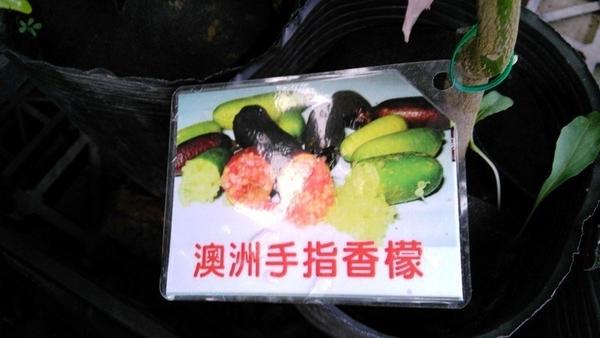 水果香草**澳洲手指香檬 手指檸檬** 4.5吋盆/澳洲原生種 果肉顏色綠色【花花世界玫瑰園】S