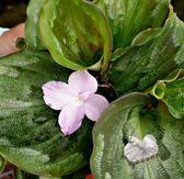 活體 [孔雀薑] 室內植物 3吋盆栽 送禮小品盆栽