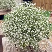 CARMO 粉色/白色滿天星種子 園藝種子(50顆) 【FR0038】