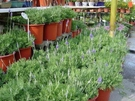 花花世界_香草植物--羽葉薰衣草--台灣常見品種/5吋/高20-35公分/TC