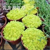 CARMO黃金萬年草爆盆多肉植物成株(3吋)【Z0127】