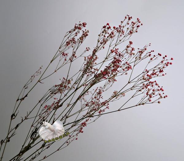 [紅色] 乾燥花滿天星花束 真花乾燥製成 ☆插花.天花板裝飾, 居家.店面.櫥窗擺飾.園藝☆