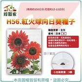 【綠藝家】H56.紅火球向日葵種子3顆(株高約150公分.花徑約12-13公分)