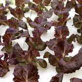 預購 【安心蔬食】水耕蔬菜-活葉紫蘿蔓(150g)