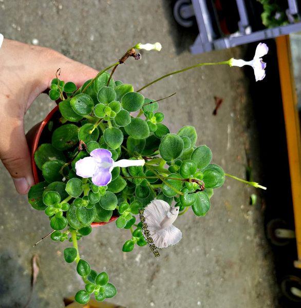 活體 [海豚花] 多肉植物 3吋盆栽 送禮小品盆栽