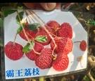 花花世界_水果苗--霸王荔枝--果實碩大/5吋盆/高30-40cm/TS