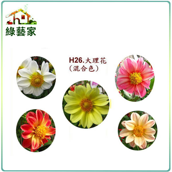 【綠藝家】大包裝H26.大理花(混合色,高30~40cm)種子150顆