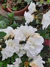 花花世界_季節花卉--貴夫人杜鵑--**花開漂亮**/5吋盆/高10~20CM/TC