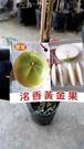 花花世界_季節水果苗--洺香黃金果(嫁接)--**新品種**/4.5吋盆/高40~50CM/TC